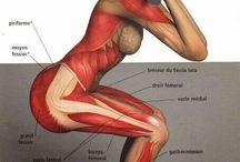 Muskel teori