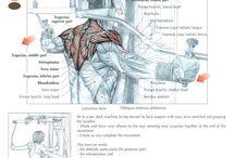 Muscle anatomy - Back