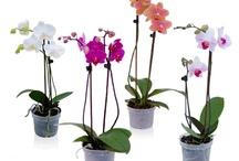VM: Orchids