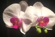 Flores um