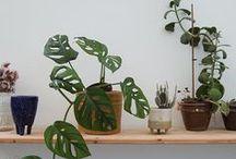 Monstera Obliqua / Plants, planter, monstera obliqua, monstera, green, fingers, grønne fingre,