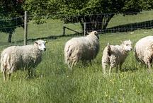 Les Moutons d'Ouessant du Martinaa