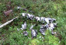 Wood pigeon hunting // Sepelkyyhkyn-metsästys