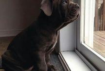 Corso Dogs