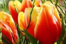 Tulips / Tulips I want, and dealing with their bulbs