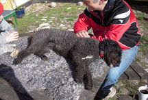 My Spanish water dog / Clever and curly