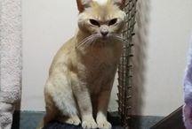My Beautiful Burmese cats / Burmese cats and kittens