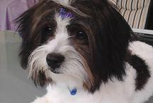 Dogs / Maltese / Bichon cross