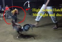 Fighting Cock Forsale Ph