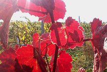 Vinohrad, vinice - vineyards