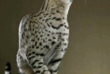 CATS / ORIENTAL CATS