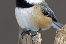 black cap bird and others