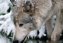 "Wolves / ""There are nights when the wolves are silent and only the moon howls."""