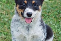 mixed corgie  dogs / by Brenda Oister