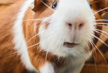 Family Caviidae. / Includes Domestic Guinea Pigs, Wild Cavies, and Capybara.