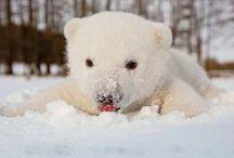 Caras de oso polar