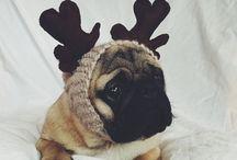 Harry / Pugs #pugs