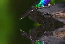 Hummingbirds / Kolibries