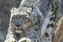 snow leopards..