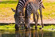 Zebras / Black and white,black and white stripes