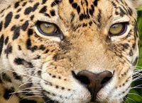 Jaguars of Skye Island