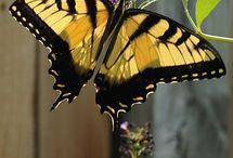 ~The Butterflies~