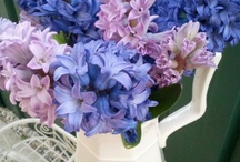 Pretty Mauve and Blue Hyacinth