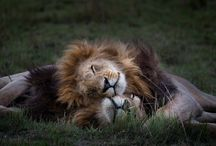 Lions and wild cats - pics and tutorials