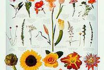 Flowers and blooming edible weeds,plants / Edible flowers, vegetables, plants / by Gloria Villaluz