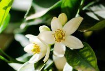 Fleur d'oranger / La fleur d'oranger, mélange de fleurs blanches, de vanille et de musc blanc pour une escapade régressive et gourmande.