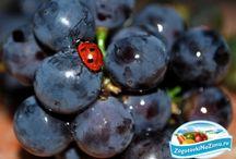 Заготовки Виноград