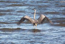 Great Blue Herons & Seagulls