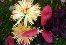Zwei Aquarelle mit Chrysanthemen entstehen Schritt für Schritt / / Zwei Aquarelle mit Chrysanthemen entstehen Schritt für Schritt / Watercolors with chrysanthemums created step by step #Aquarelle #Watercolors #Chrysanthemen #chrysanthemums