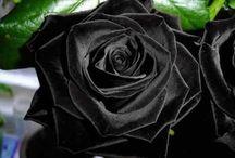 rosas negros y rojas
