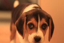 beagle :** / cainii mei preferatii:*:*