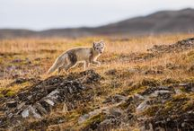 Arctic Foxes / Small but sturdy, these minute members of the wild Canadian canidae family can withstand some of Earth's coldest temperatures.