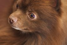 ANIMAL-DOG-POMERANIAN / PLEASE know TEACUP/MIMIPOM's r NOT recognized breeds but r unethically bread for $$$. Ur pup will likely have many health probs.  / by Lesa Steele
