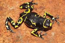 Artsy Project: Dendrobatids / This will be a collection of references to use for a graphics project mapping the pattern changes between and within the Dendrobates species of Poison Dart Frogs. Most will likely to be ads for WC animals for sale but I am *NOT* pinning them here to encourage buying these animals! I recommend buying Captive Bred ALWAYS! / by Corey W