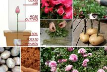 Grow roses with potatoes and cinnamon