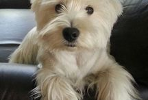 Dogs: West Highland Terrier - Westy pictures I like / West Highland Terrier - Westy pictures I like for a variety of reasons.