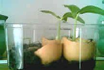 sadenie prísad