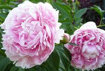 Mains of Drum Garden Centre / A selection of peonies and other plants that Binny Plants can offer