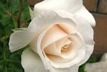 """What Is A Life Without Roses? / """"But he who dares not grasp the thorn  Should never crave the rose.""""  ― Anne Brontë"""