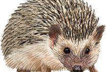 Sün - hedgehog