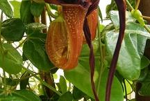 Aristolochia / Aristolochia I am growing