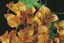 LagunaC Plants