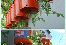 trädg tomat