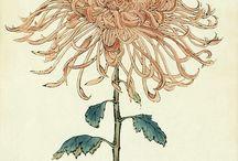 chrysanthemum asie