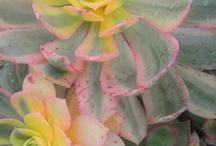 Plants - Aeonium