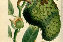 Cancer Cure: Soursop